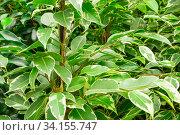Close-up of green leaves branches of ficus benjamin. Стоковое фото, фотограф Ольга Губская / Фотобанк Лори