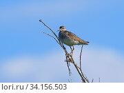 Купить «Птица фифи (Tringa glareola) стоит на сухой ветке», фото № 34156503, снято 6 июля 2020 г. (c) Григорий Писоцкий / Фотобанк Лори