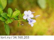 Купить «Blütenzweig des kap-bleiwurz. die blütenfarbe ist hell blau. makro», фото № 34160203, снято 9 июля 2020 г. (c) easy Fotostock / Фотобанк Лори