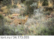 Klipspringer (Oreotragus oreotragus), Karoo National Park, Western Cape, South Africa. Стоковое фото, фотограф Houdin and Palanque / Nature Picture Library / Фотобанк Лори
