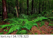 Mysterious dark pine forest and beautiful fern leaves among trunks. Fairy tale of coniferous forest wet after rain. Summer nature background - dense and dark woodland, magical mood. Стоковое фото, фотограф Zoonar.com/Rvo233 / easy Fotostock / Фотобанк Лори