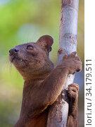 Купить «Fosa (Cryptoprocta ferox) head portrait, Kirindy Forest, Western Madagascar, November. Vulnerable species», фото № 34179511, снято 11 июля 2020 г. (c) Nature Picture Library / Фотобанк Лори