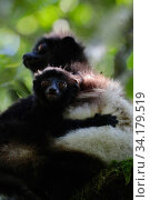 Milne-Edwards' sifaka (Propithecus edwardsi) with young, Ranomafana National Park, Madagascar, Endangered, October 2019. Critically Endangered species. Стоковое фото, фотограф Lorraine Bennery / Nature Picture Library / Фотобанк Лори