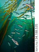Black rockfish (Sebastes melanops) with Bull kelp (Nereocystis luetkeana) Browning Pass, Queen Charlotte Strait, British Columbia, Canada. September. Стоковое фото, фотограф David Hall / Nature Picture Library / Фотобанк Лори
