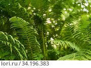 Купить «View of fern thickets in the forest undergrowth from the bottom to top», фото № 34196383, снято 25 июня 2020 г. (c) Евгений Харитонов / Фотобанк Лори