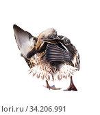 Купить «Птицы. Кряква (дикая утка) чистит перышки. Изолировано на белом фоне», фото № 34206991, снято 4 августа 2020 г. (c) E. O. / Фотобанк Лори
