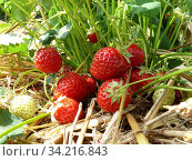 Rote und grüne Früchte an einer Erdbeerpflanze. Стоковое фото, фотограф Zoonar.com/Helga Mahler / easy Fotostock / Фотобанк Лори