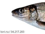 Fish head portrait. Whitefish (Coregonus lavaretus) - very polymorphic species of fish. Form from East part Gulf of Finland, Baltic sea. Fish isolated on white background. Стоковое фото, фотограф Zoonar.com/Maximilian Buzun / easy Fotostock / Фотобанк Лори