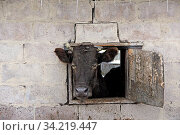 Cow looking out from window of shed on red brick wall. Livestock concept. Livestock farm. Cow living on farm. head of cow peeks out of open window on farm. Head of cow. Стоковое фото, фотограф Zoonar.com/Alexmak7 / easy Fotostock / Фотобанк Лори