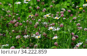 Beautiful Russian meadow with daisies and clover. Стоковое видео, видеограф Володина Ольга / Фотобанк Лори