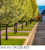 Купить «Frame Frame Square Row of luxuriant trees on the landscaped sidewalk of a road on a sunny day. The trees have masses of white flowers and bright green leaves in spring.», фото № 34226823, снято 4 августа 2020 г. (c) easy Fotostock / Фотобанк Лори