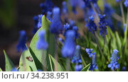 Flowers of a grape hyacinth, Muscari botryoides. Стоковое видео, видеограф Игорь Жоров / Фотобанк Лори