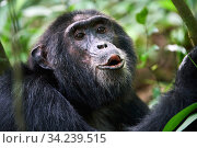 Chimpanzee (Pan troglodytes schweinfurthii) male vocalising, Kibale National Park, Uganda, Africa. Стоковое фото, фотограф Eric Baccega / Nature Picture Library / Фотобанк Лори
