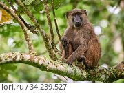 Olive baboon (Papio hamadryas anubis) juvenile in a tree. Kibale National Park, Uganda, Стоковое фото, фотограф Eric Baccega / Nature Picture Library / Фотобанк Лори
