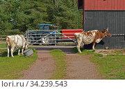 Nordic dairy cattle, Finnish Ayrshire. Dairy cow farm in Aland islands. Summer. Стоковое фото, фотограф Валерия Попова / Фотобанк Лори