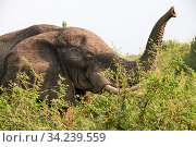 African elephant (Loxodonta africana) with trunk raised. Queen Elizabeth National Park, Uganda. Стоковое фото, фотограф Eric Baccega / Nature Picture Library / Фотобанк Лори