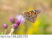 Painted lady (Vanessa cardui), London, England, UK, July. Стоковое фото, фотограф Rod Williams / Nature Picture Library / Фотобанк Лори