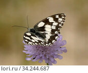 Купить «Marbled white butterfly on Knautia.», фото № 34244687, снято 7 июля 2020 г. (c) easy Fotostock / Фотобанк Лори