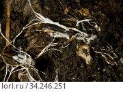 Branching threads of fungus mycelium in organic soil sample, mycorrhizal... Стоковое фото, фотограф Nigel Cattlin / Nature Picture Library / Фотобанк Лори