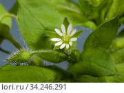 Chickweed (Stellaria media) flowers and leaves of an annual agricultural and garden weed. Стоковое фото, фотограф Nigel Cattlin / Nature Picture Library / Фотобанк Лори