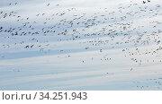 Flock of cranes flying against cloudy sky, spring migration. Стоковое видео, видеограф Яков Филимонов / Фотобанк Лори