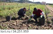 Man picking harvest to bucket in garden outdoor, african american man is dripping potatoes by shovel. Стоковое видео, видеограф Яков Филимонов / Фотобанк Лори