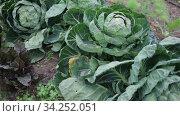 Green young cabbages growing in vegetable garden on spring day. Стоковое видео, видеограф Яков Филимонов / Фотобанк Лори