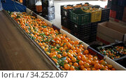 Ripe tangerines on a fruit sorting production line. Стоковое видео, видеограф Яков Филимонов / Фотобанк Лори