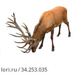 Red deer (Cervus elaphus) with luxurious antlers on white background. Стоковое фото, фотограф Валерия Попова / Фотобанк Лори
