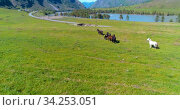 Low altitude orbital flight over wild horses herd at perfect green rural field. Стоковое видео, видеограф Александр Маркин / Фотобанк Лори