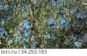 Поспевающие оливки на дереве солнечным днем. Италия. Стоковое видео, видеограф Виктор Карасев / Фотобанк Лори
