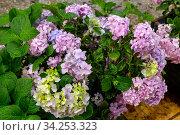 The hydrangea grows on the flower pot close-up. Стоковое фото, фотограф Татьяна Ляпи / Фотобанк Лори
