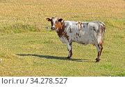 Купить «Funny Finnish Ayrshire cow in meadow. Aland Islands», фото № 34278527, снято 19 августа 2014 г. (c) Валерия Попова / Фотобанк Лори