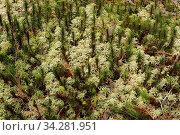 Torfmoos, Sphagnum, Bleichmoos, Bog moss, Fringed moss. Стоковое фото, фотограф Zoonar.com/Gerd Herrmann / easy Fotostock / Фотобанк Лори