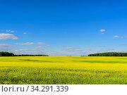 Большое поле с рапсом, лес, облака, солнечный свет на голубом небе в июне во второй половине летнего дня. Россия. Стоковое фото, фотограф Владимир Устенко / Фотобанк Лори