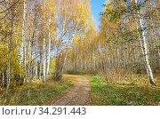 Осенний пейзаж с березами в солнечный день. Стоковое фото, фотограф Елена Коромыслова / Фотобанк Лори