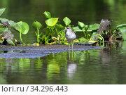 Купить «Tringa glareola. Птица фифи летом среди болота на севере Западной Сибири», фото № 34296443, снято 23 июля 2020 г. (c) Григорий Писоцкий / Фотобанк Лори