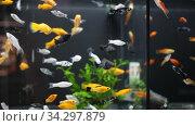 swordtails in aquariums. Стоковое видео, видеограф Яков Филимонов / Фотобанк Лори