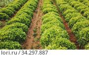 Купить «Closeup of green lettuce plantation in organic vegetable farm. Harvest time», видеоролик № 34297887, снято 5 августа 2020 г. (c) Яков Филимонов / Фотобанк Лори