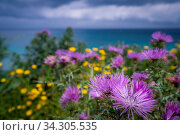 Colorful yellow and purple flowers on a meadow over Alykes Beach in Zante Island, Greece. Стоковое фото, фотограф Zoonar.com/Pawel Opaska / easy Fotostock / Фотобанк Лори