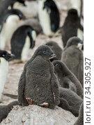 Купить «Adelie penguin (Pygoscelis adeliae) chicks, about 4 weeks old, on Devil Island, an island in the James Ross Island group, near the north-eastern tip of the Antarctic Peninsula.», фото № 34305927, снято 17 января 2006 г. (c) age Fotostock / Фотобанк Лори