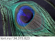 Close-up bird feathers of a peacock. Стоковое фото, фотограф Яна Королёва / Фотобанк Лори