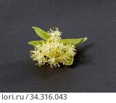 Купить «Blossoming natural branch of Linden or Tilia tree with yellow flowers.», фото № 34316043, снято 18 июня 2020 г. (c) Ярослав Данильченко / Фотобанк Лори