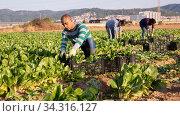 Male latino worker cleans chard on plantation. Стоковое фото, фотограф Яков Филимонов / Фотобанк Лори
