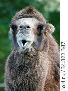 A camel portrait seen from the side Ein Kamel Porträt von der Seite gesehen. Стоковое фото, фотограф Zoonar.com/Hepp Eric / easy Fotostock / Фотобанк Лори