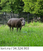 South American tapir (Tapirus terrestris) in green grass. Стоковое фото, фотограф Валерия Попова / Фотобанк Лори