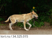 Eurasian wolf (Canis lupus lupus) runs fast down road. Стоковое фото, фотограф Валерия Попова / Фотобанк Лори