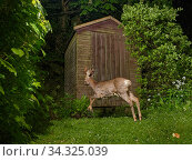 Купить «Roe deer (Capreolus capreolus) buck running past a garden shed at night, Wiltshire, UK, April. Property released.», фото № 34325039, снято 5 августа 2020 г. (c) Nature Picture Library / Фотобанк Лори