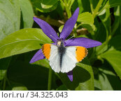Купить «Orange tip butterfly (Anthocharis cardamines) male nectaring from a Greater periwinkle (Vinca major) flower in garden, Wiltshire, UK, April.», фото № 34325043, снято 3 августа 2020 г. (c) Nature Picture Library / Фотобанк Лори