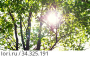 sun shining through tree leaves and branches. Стоковое видео, видеограф Syda Productions / Фотобанк Лори